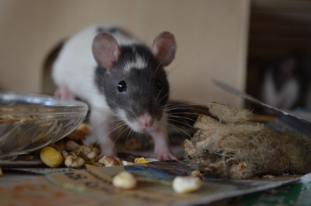 Эффективный отпугиватель мышей и крыс